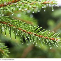 A branch of a pine tree with rain drops hanging from the needles